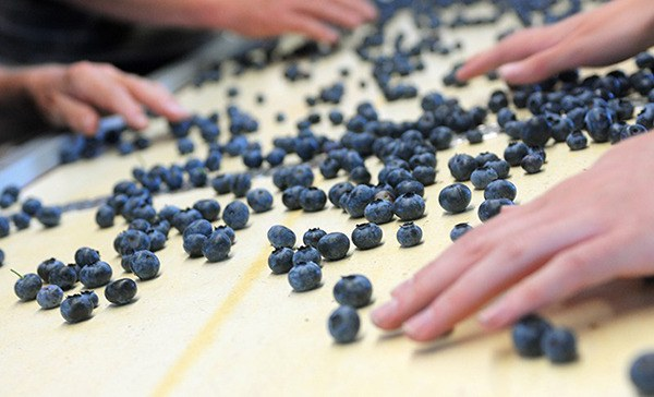 Blueberry Price Blues Multiple Factors Have Some Farmers Struggling Abbotsford News