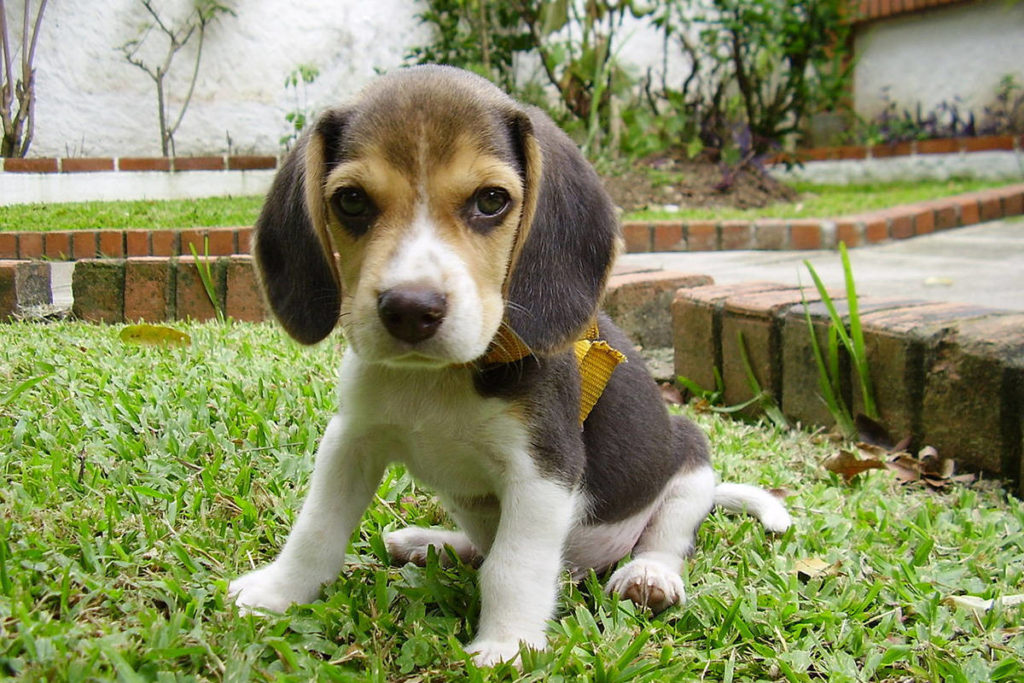 Too Cute To Be True Bbb Warns Of Fraudulent Beagle Puppy Ads Online Abbotsford News