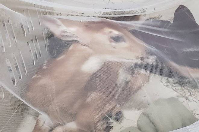 UPDATE: West Kelowna fawn euthanized, not claimed by sanctuary
