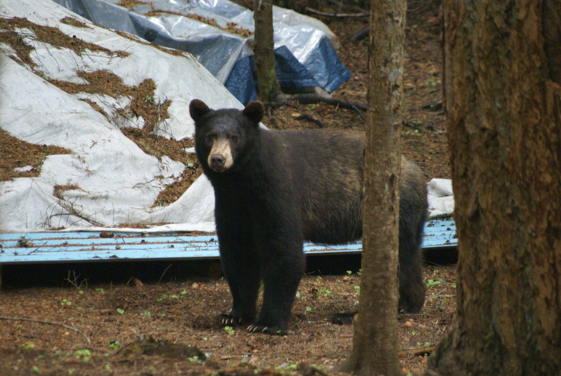 Bears killed after clawing way into Sunshine Valley home
