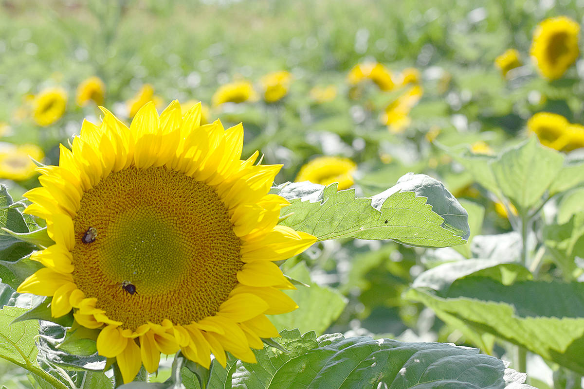 First sunflower festival in Abbotsford sprouts off this