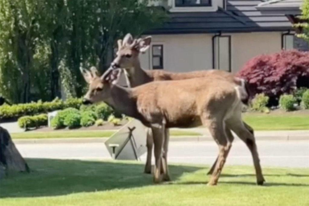 VIDEO: Pair of deer explore Abbotsford neighbourhood - Abbotsford News